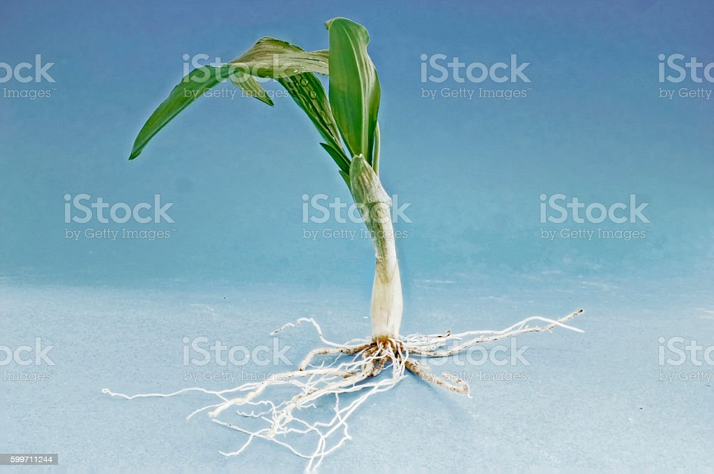 Fresh wild garlic with roots stock photo