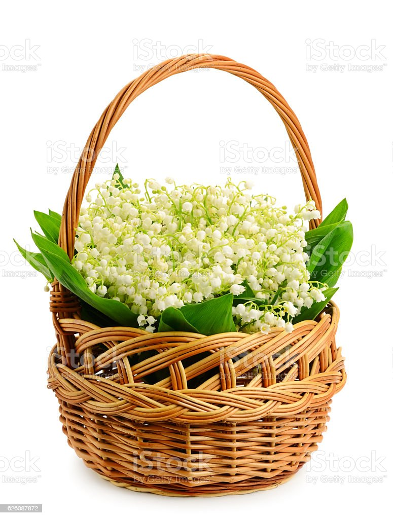 Fresh wild lilies of the valley in basket stock photo