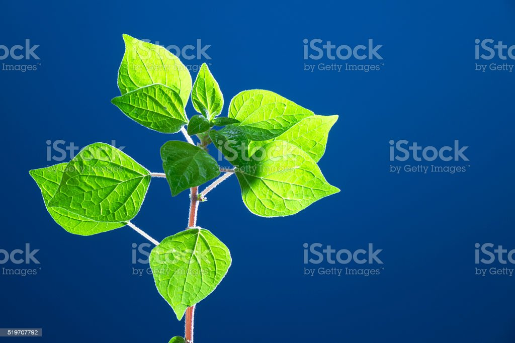 Fresh Wild Plant Leaves On Clear Blue Backgorund stock photo