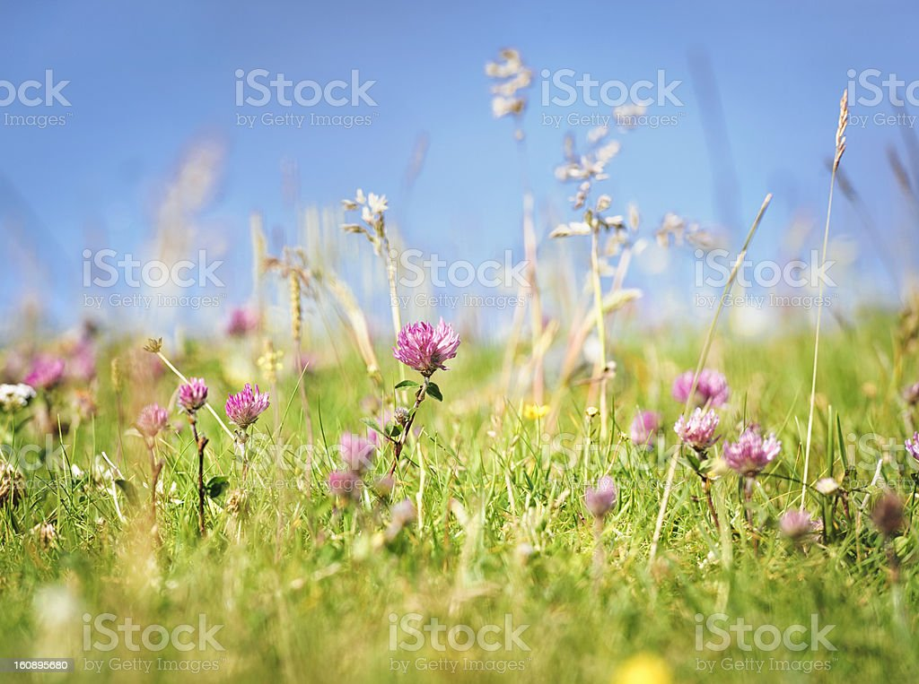 Fresh Wild Summer Meadow stock photo