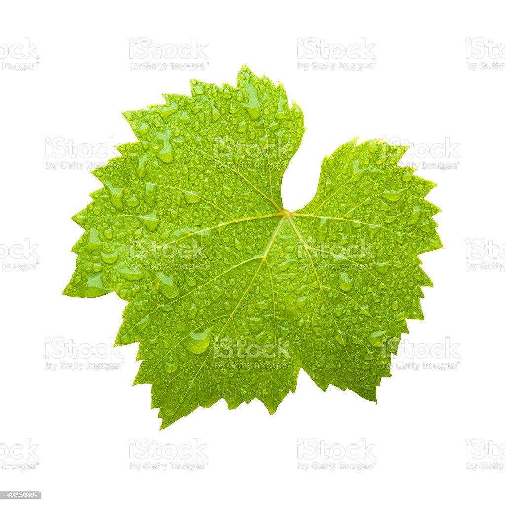 fresh wine leaf stock photo