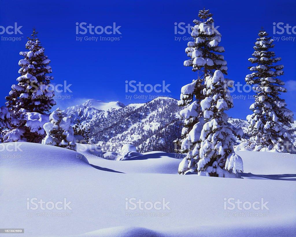 Fresh Winter snow laden pine tree royalty-free stock photo
