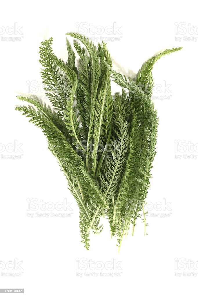 fresh Yarrow royalty-free stock photo