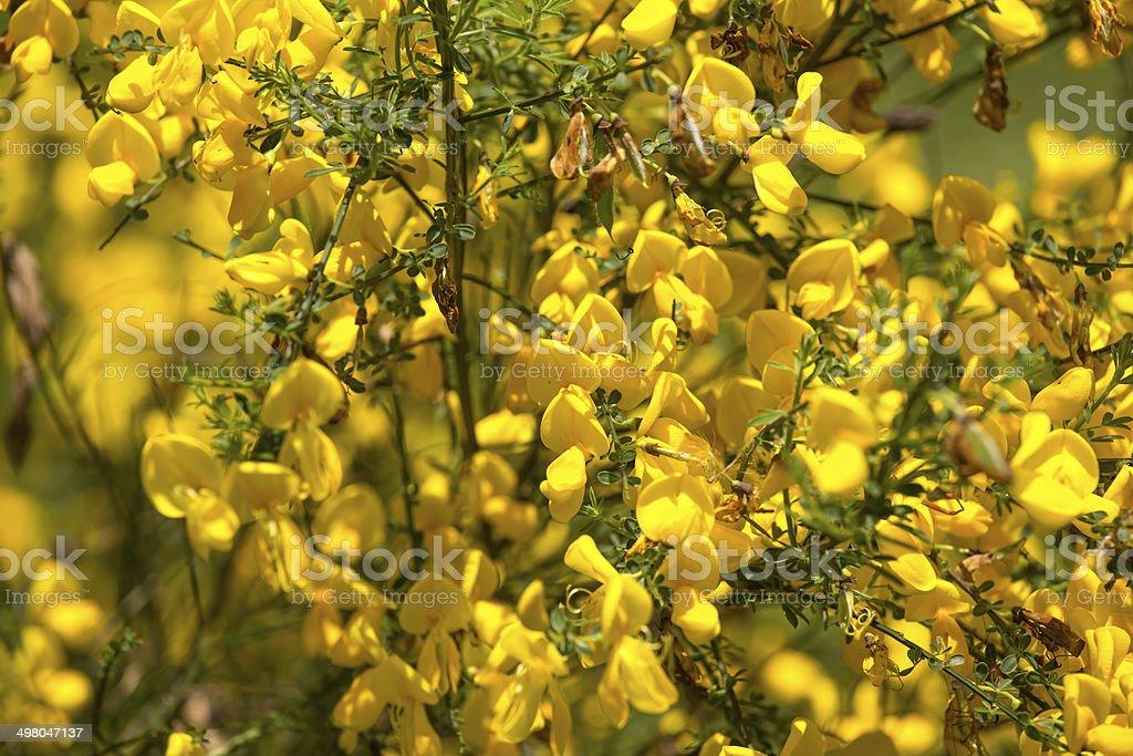 fresh yellow broom plant stock photo