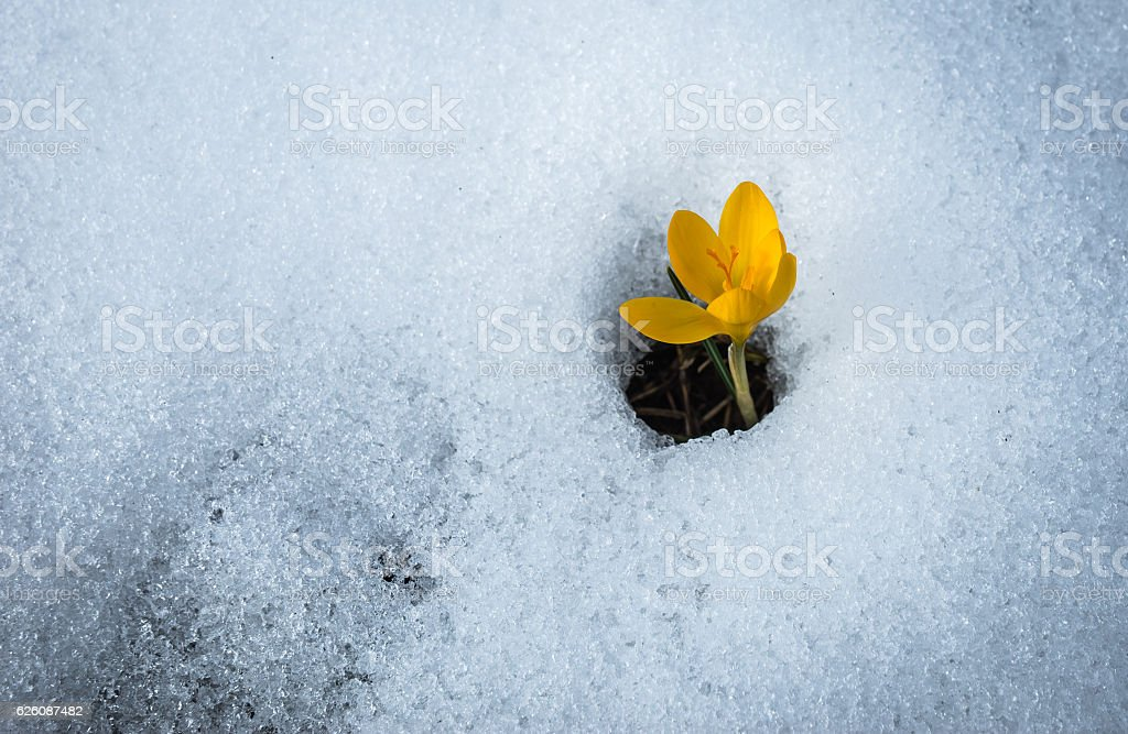 Fresh yellow crocus in the snow melting, Greece stock photo