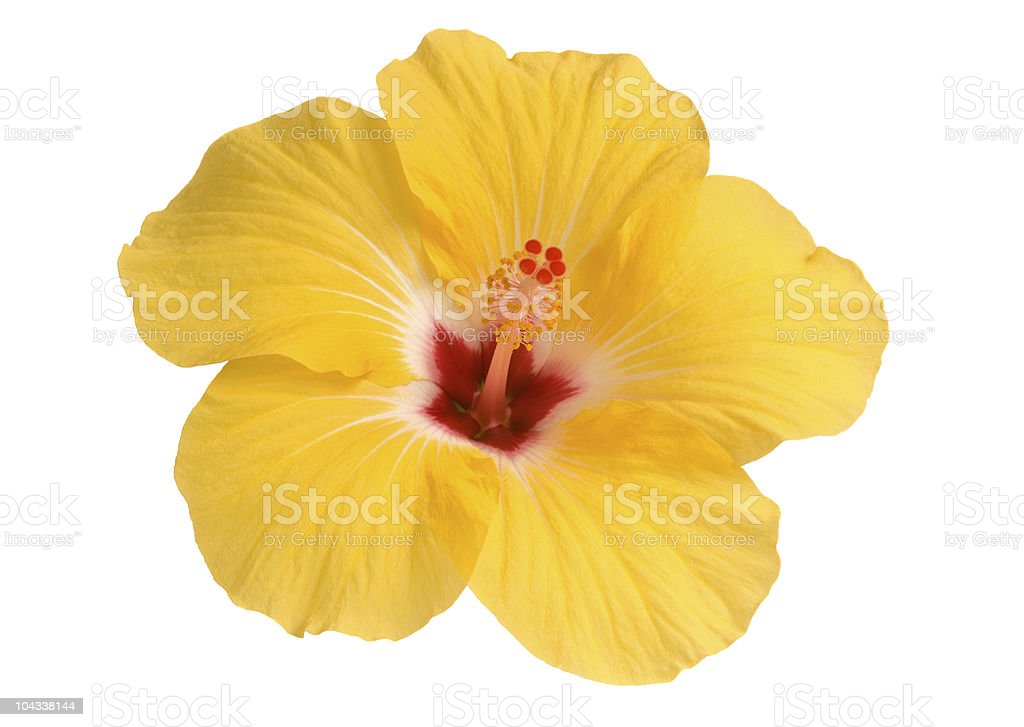 Fresh yellow hibiscus flower on white background royalty-free stock photo