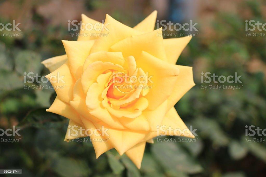 Fresh yellow rose flower stock photo