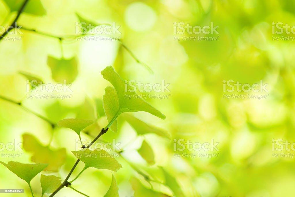 Fresh yellow-green gingko leaves royalty-free stock photo