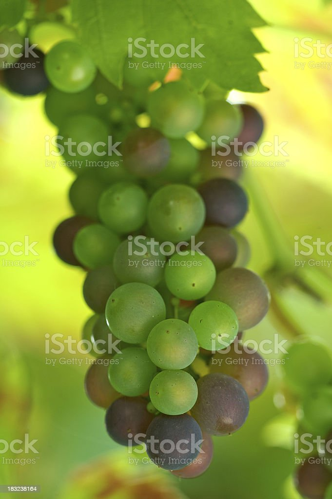 fresh young grapes stock photo