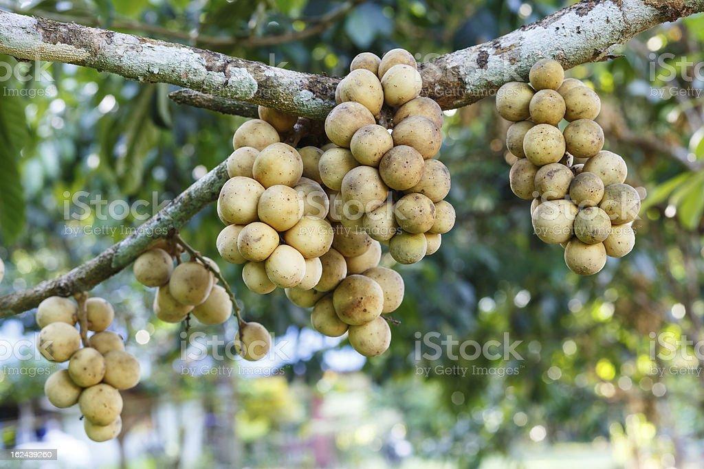 Fresh young Longkong (langsat) on tree royalty-free stock photo