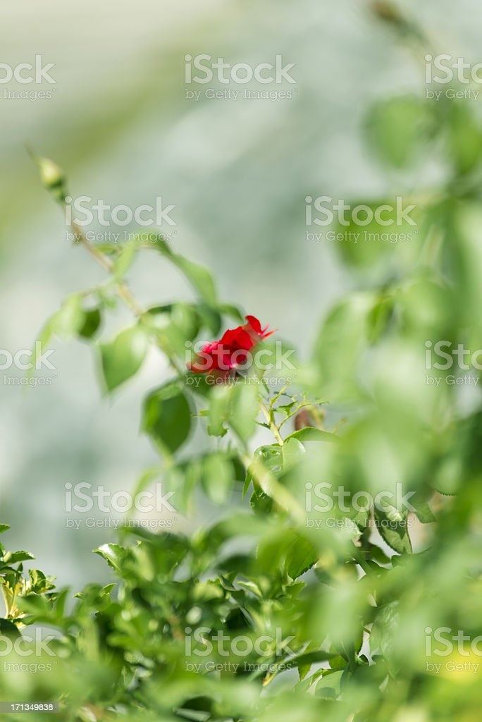 Fresh Young Rose royalty-free stock photo