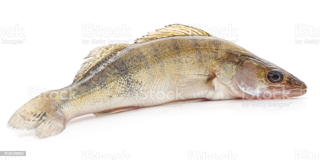 Fresh zander. stock photo