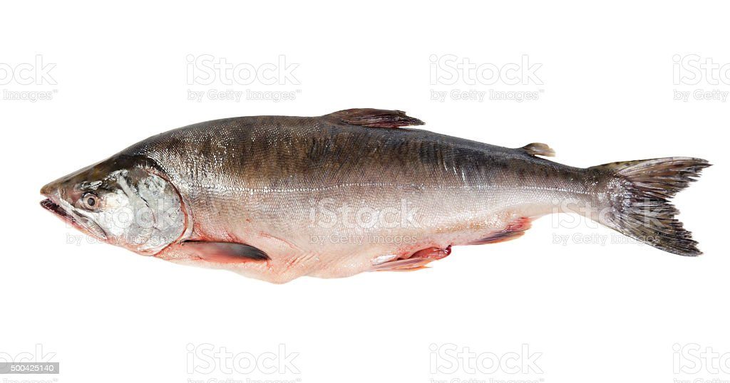 Fresh-frozen fish pink salmon. stock photo
