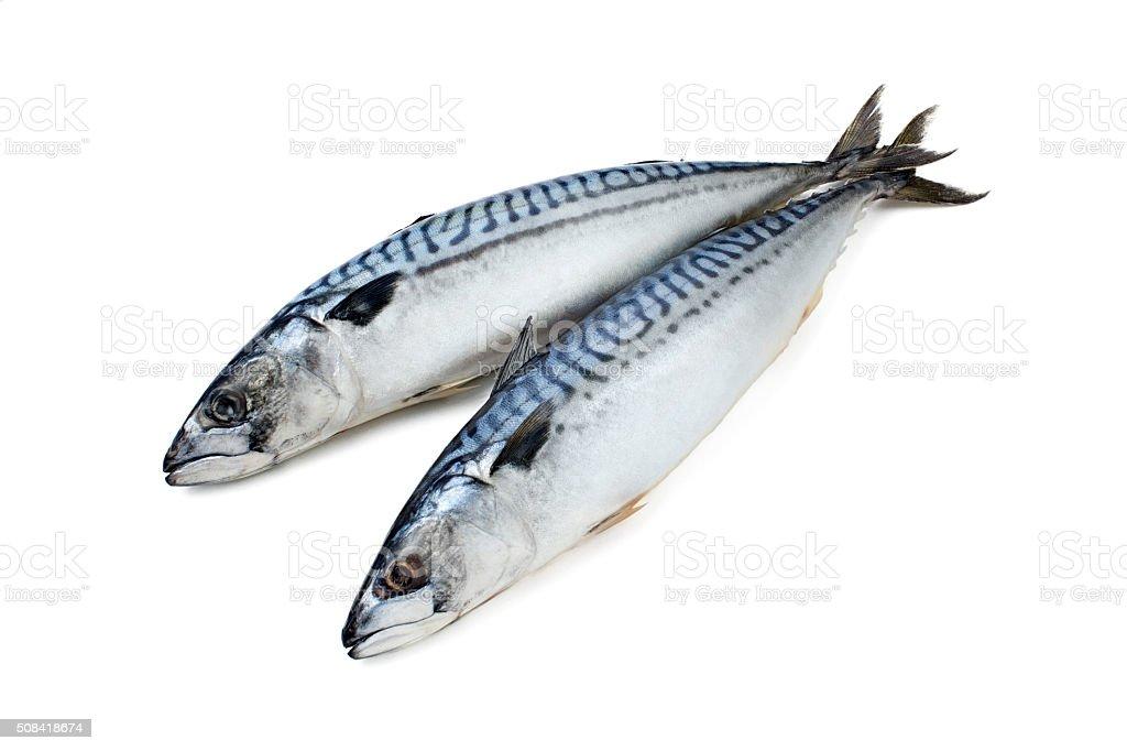 Fresh-frozen mackerel couple on a white background stock photo