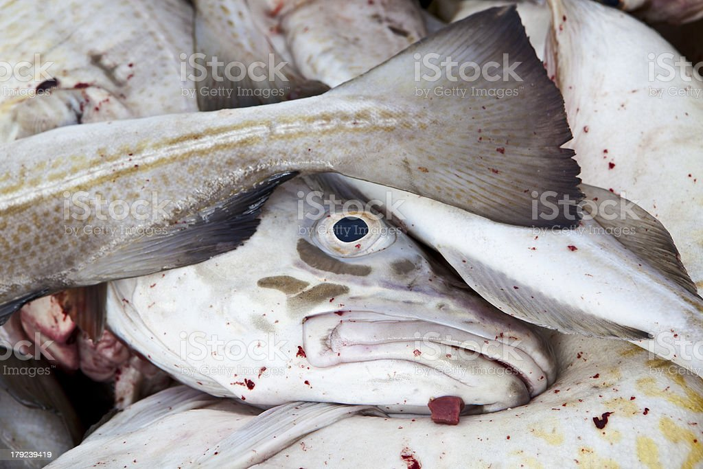 freshly caught Atlantic cods royalty-free stock photo