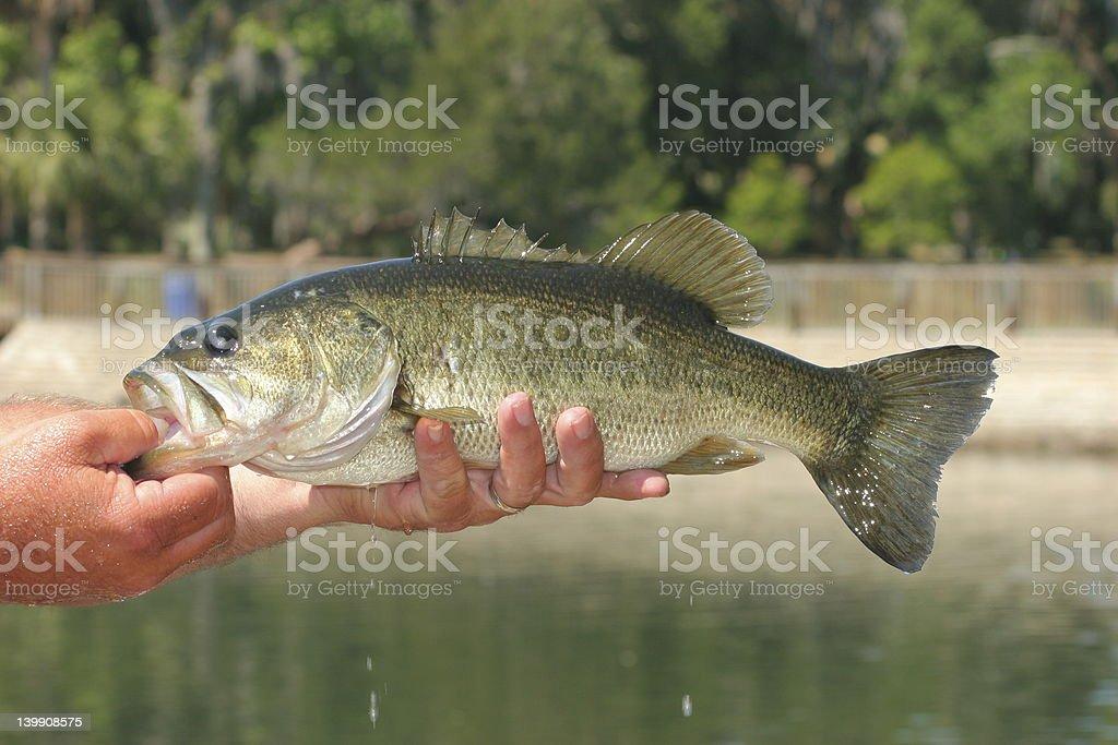 Freshly Caught Bass royalty-free stock photo