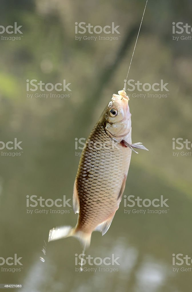 Freshly caught fish on a hook and fishing line stock photo
