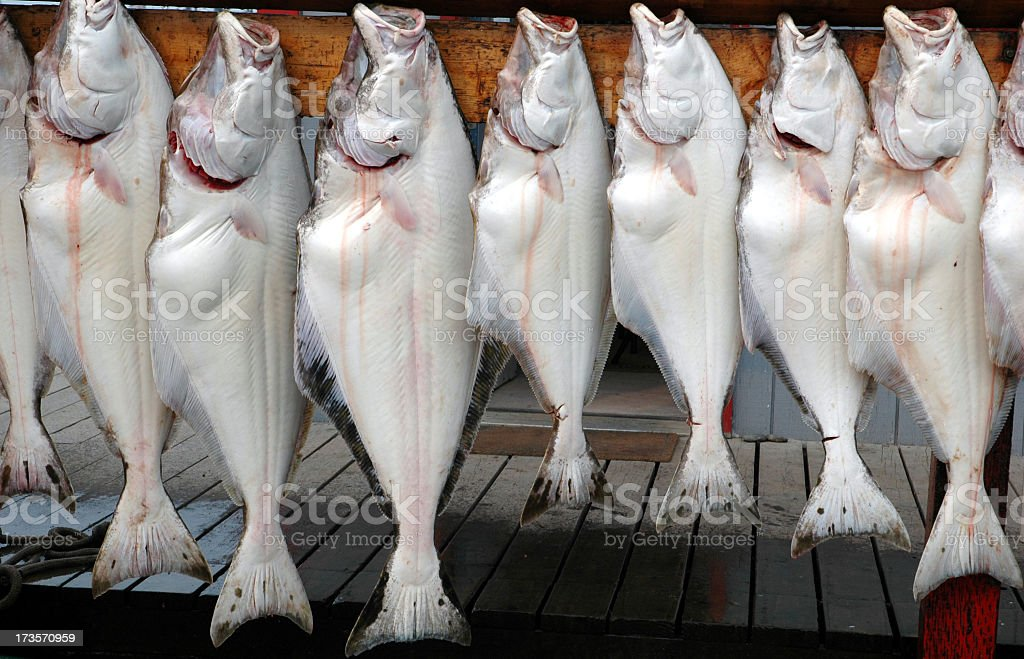 Freshly caught halibut in Homer Spit,Alaska,USA stock photo