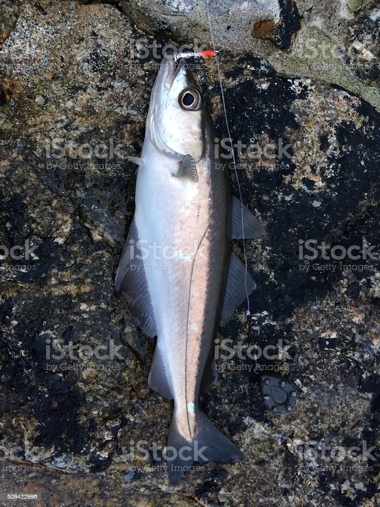 Freshly caught Pollock Fish with fish hook in its mouth stock photo