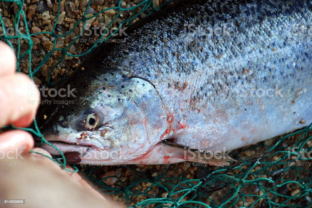 Freshly Caught Salmon stock photo