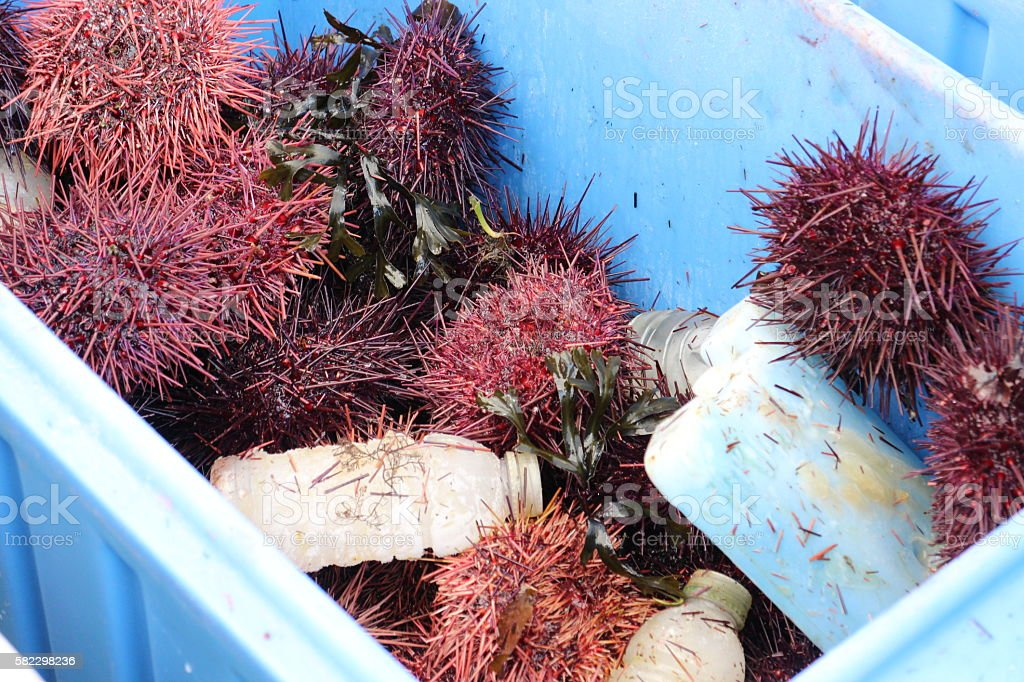 Freshly caught seaurchin on ice stock photo