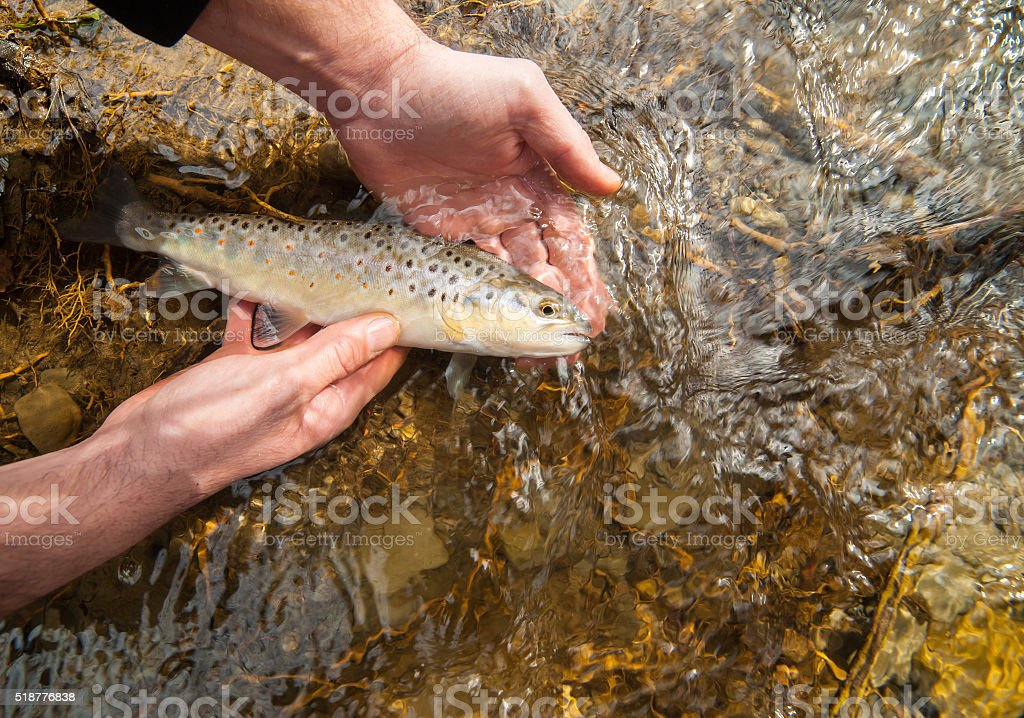 Freshly caught small brown trout (Salmo trutta fario) stock photo