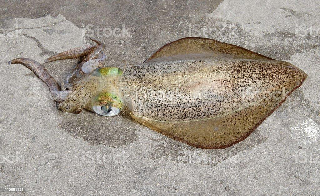 Freshly caught squid stock photo