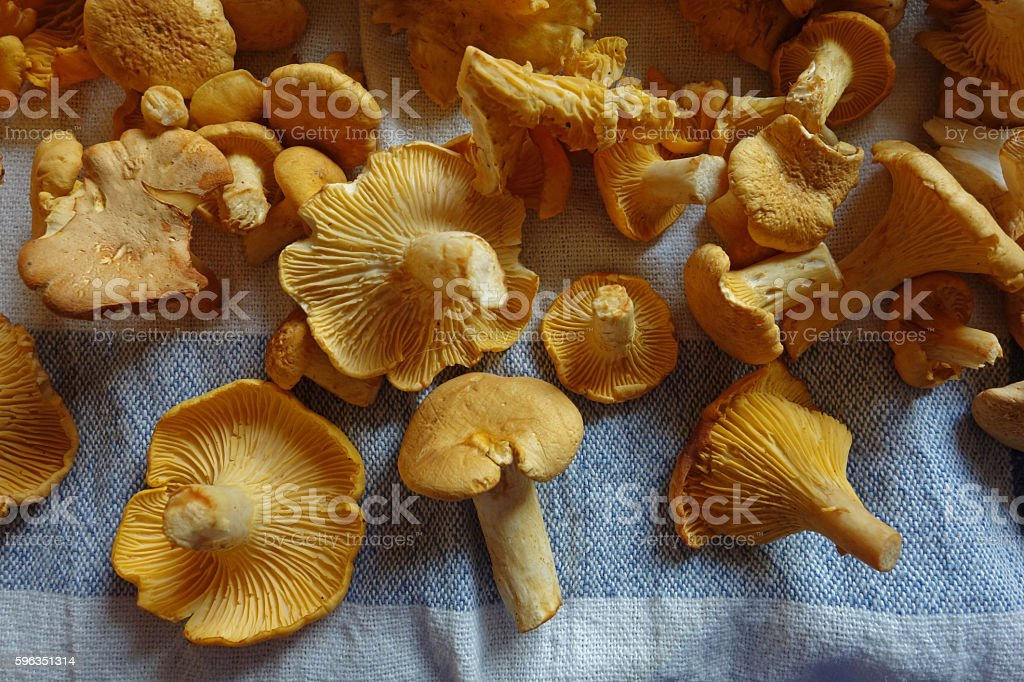 Freshly cleaned chanterelle mushrooms stock photo