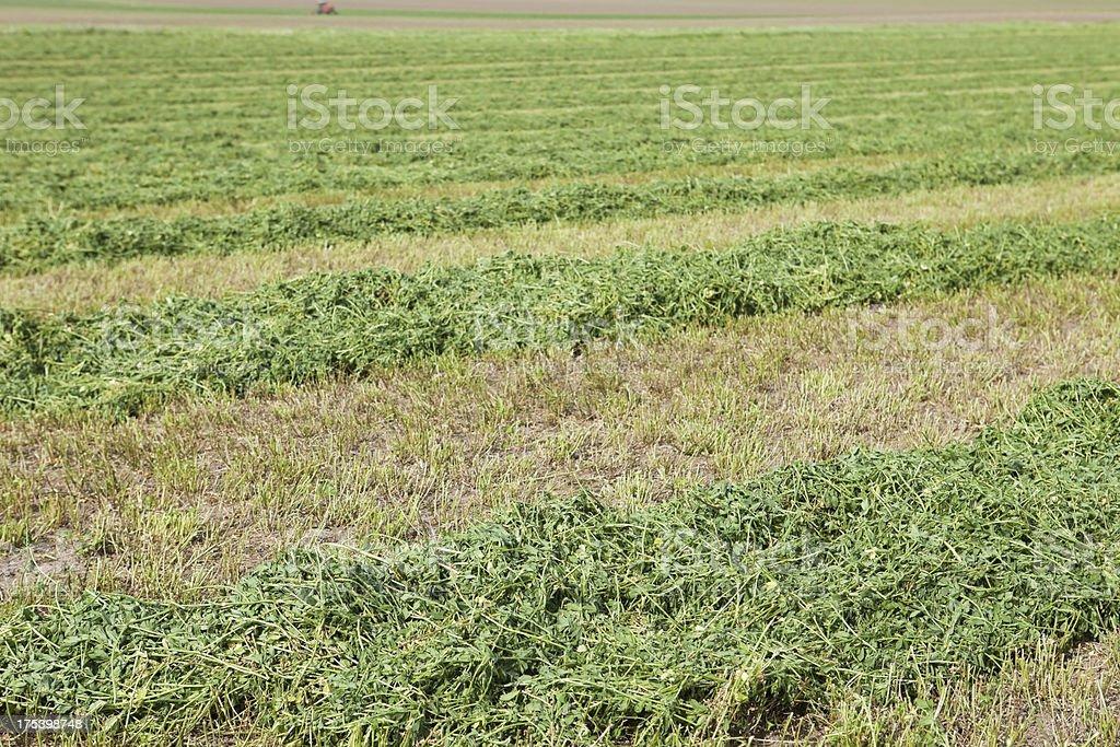 Freshly Cut Alfalfa Field Windrows stock photo