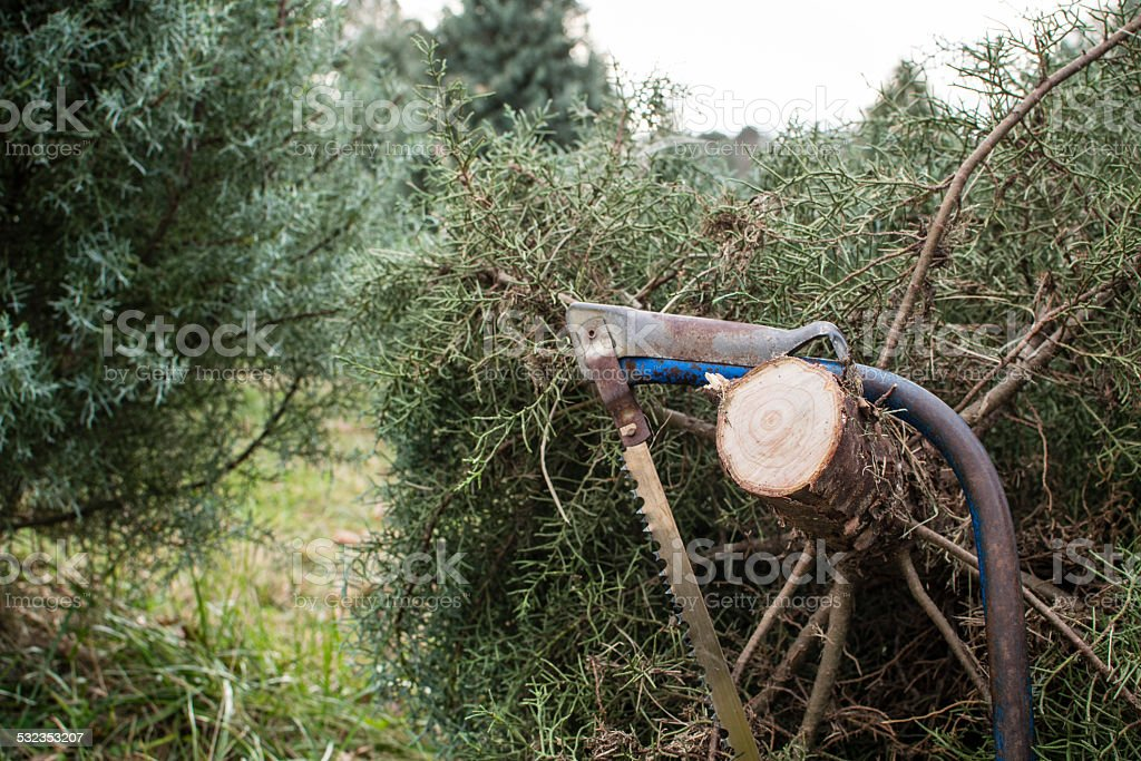 Freshly cut Christmas tree in context with other trees stock photo