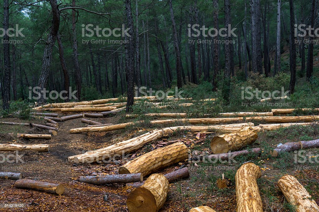 Freshly cut logs in the forest stock photo