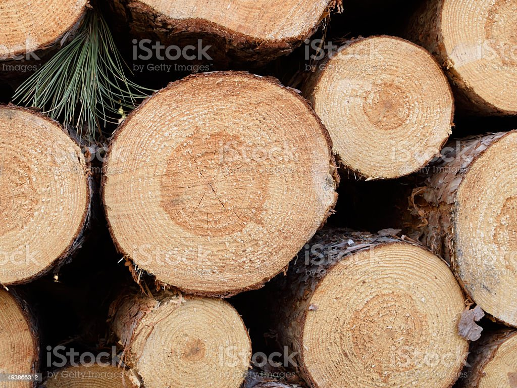 Freshly Cut Red Pine (Pinus resinosa) stock photo