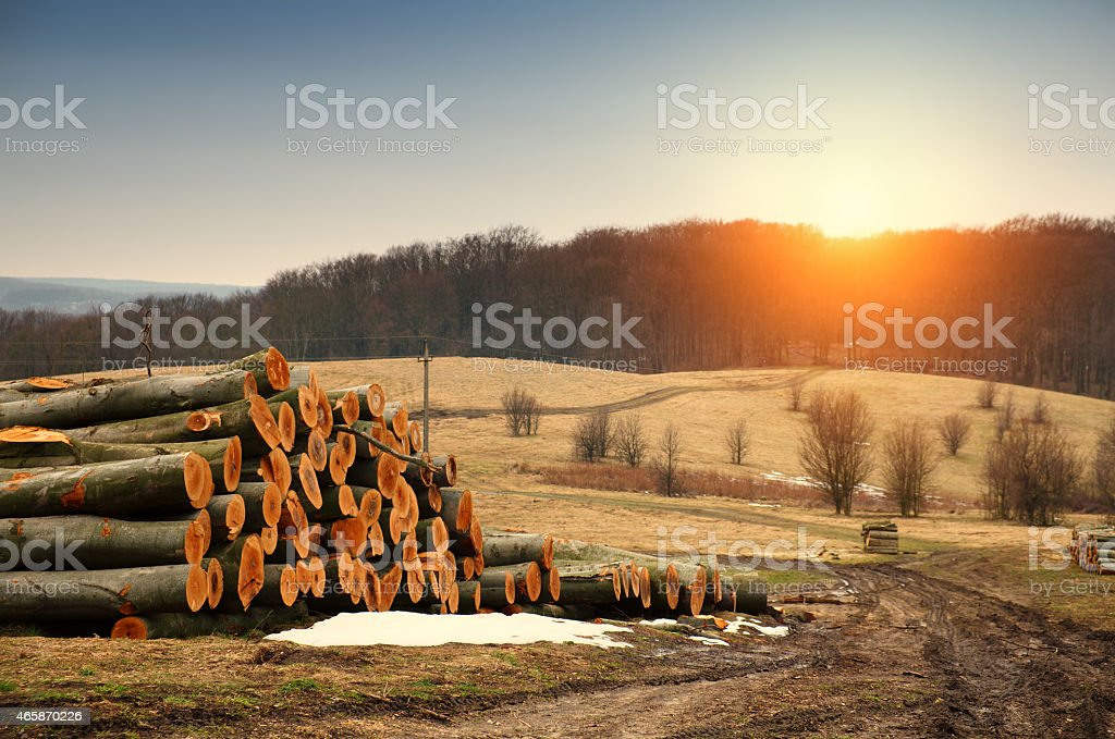 Freshly cut tree logs piled up stock photo