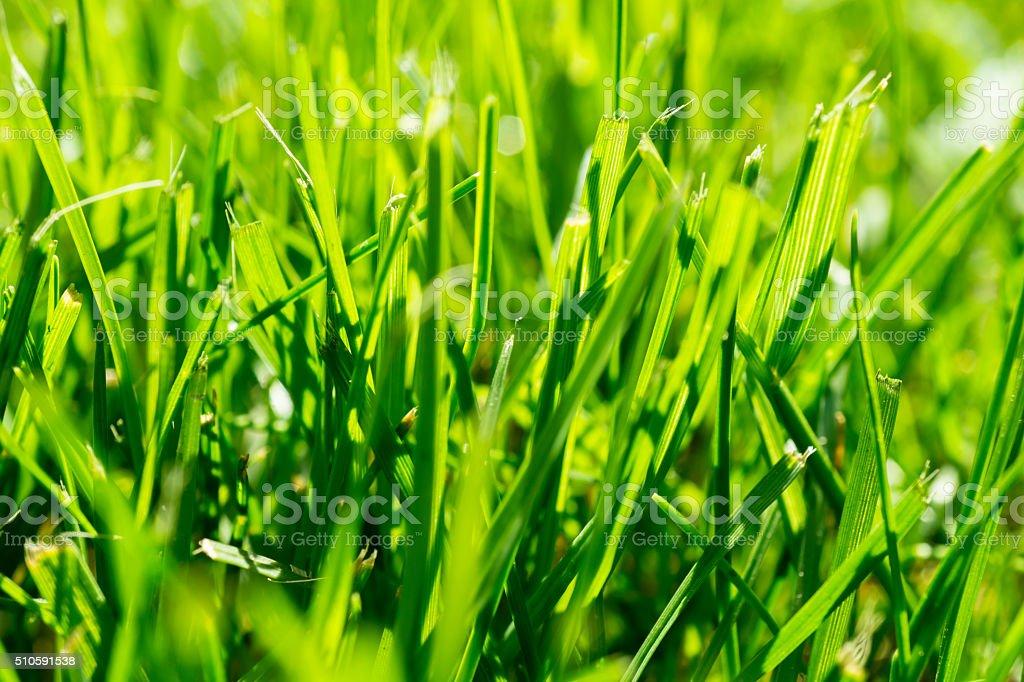 Freshly cuted green grass in the garden macro stock photo
