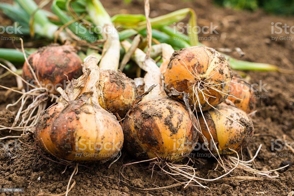 Freshly dug onion bulbs stock photo