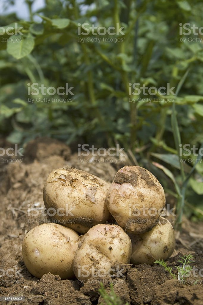 Freshly dug potatoes in the field royalty-free stock photo