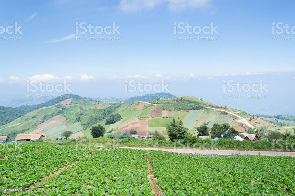 Freshly growing cabbage field stock photo