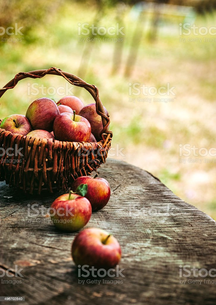 Freshly harvested apples stock photo