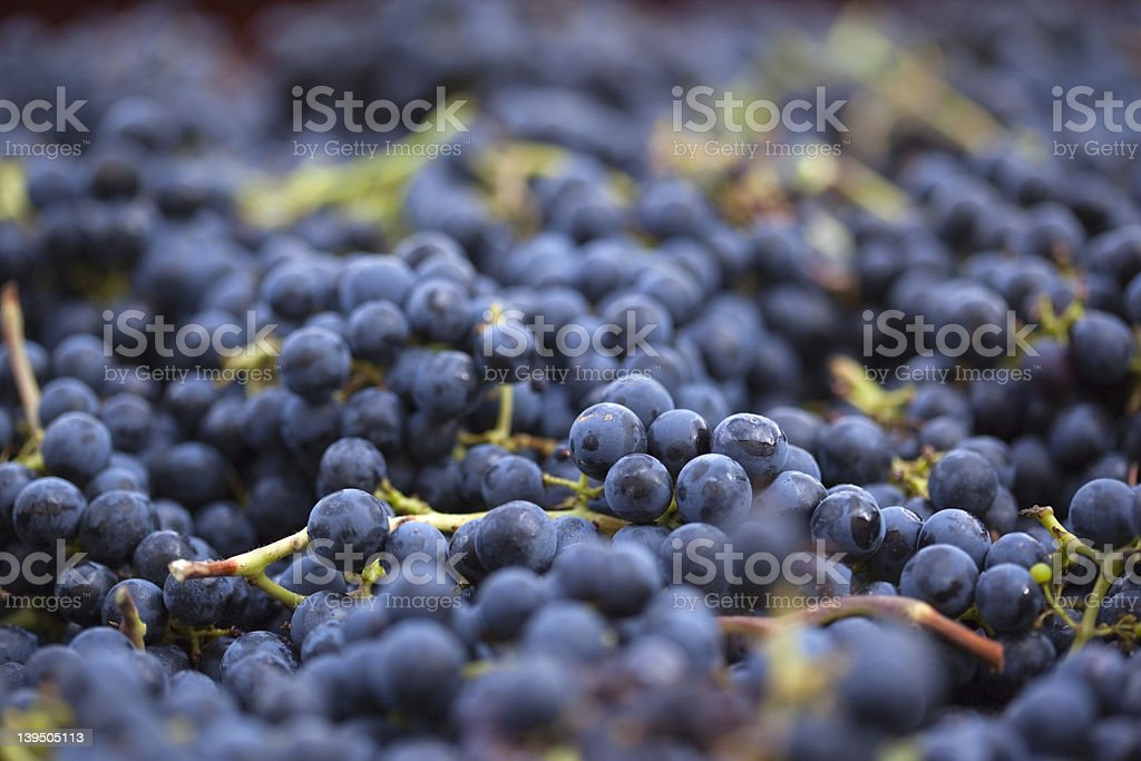 Freshly harvested black grapes stock photo