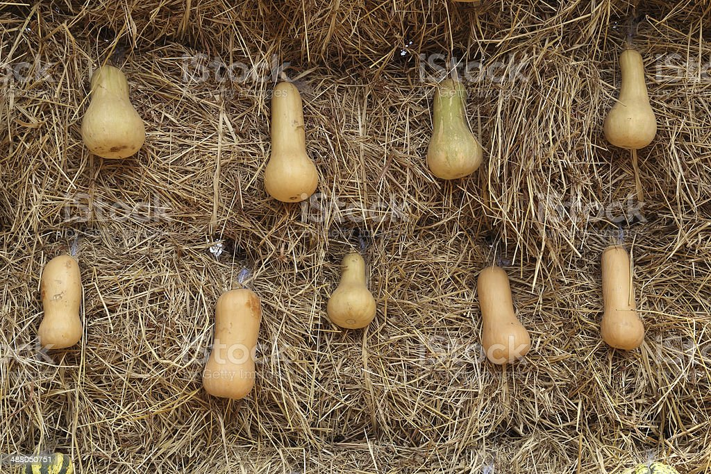 freshly harvested butternut pumpkins stock photo