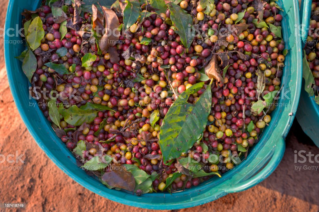Freshly Harvested Coffee royalty-free stock photo