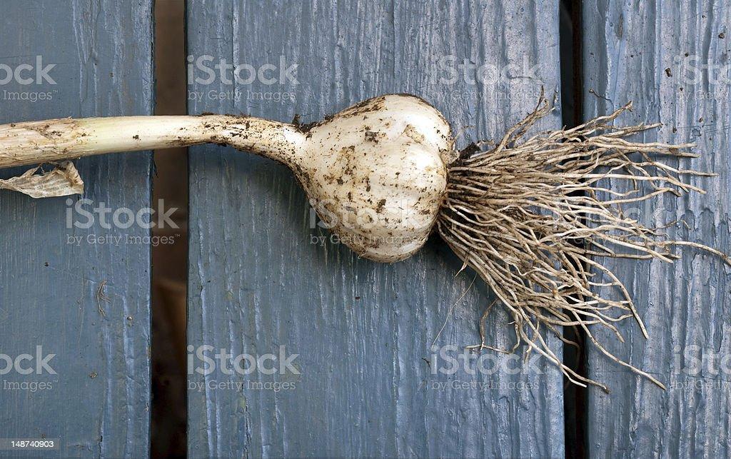 Freshly Harvested Garlic royalty-free stock photo