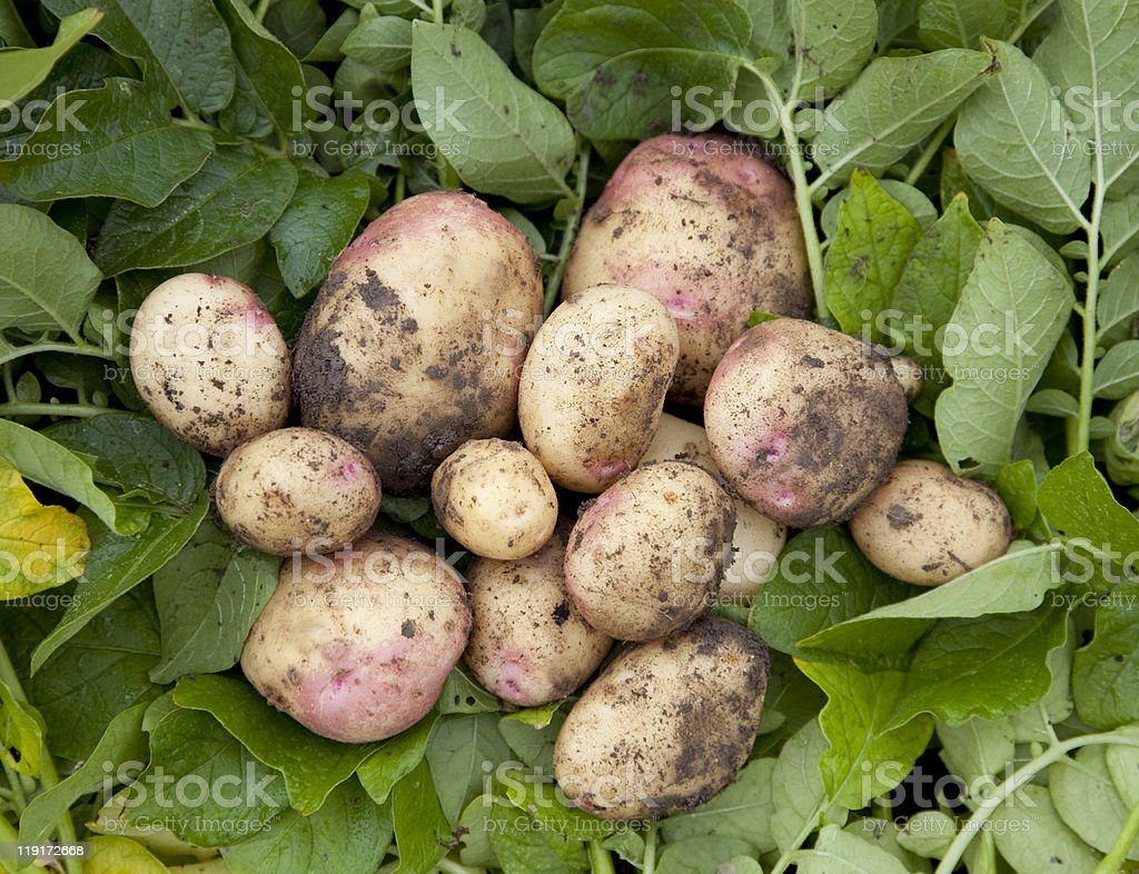 Freshly harvested home grown spuds stock photo
