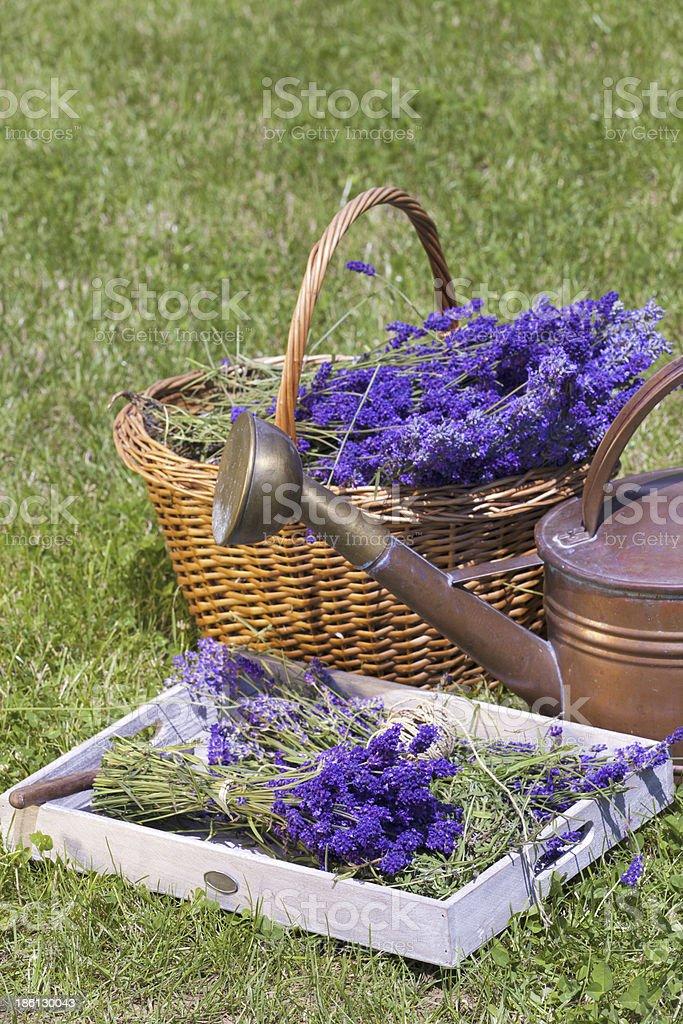 Freshly harvested lavender royalty-free stock photo