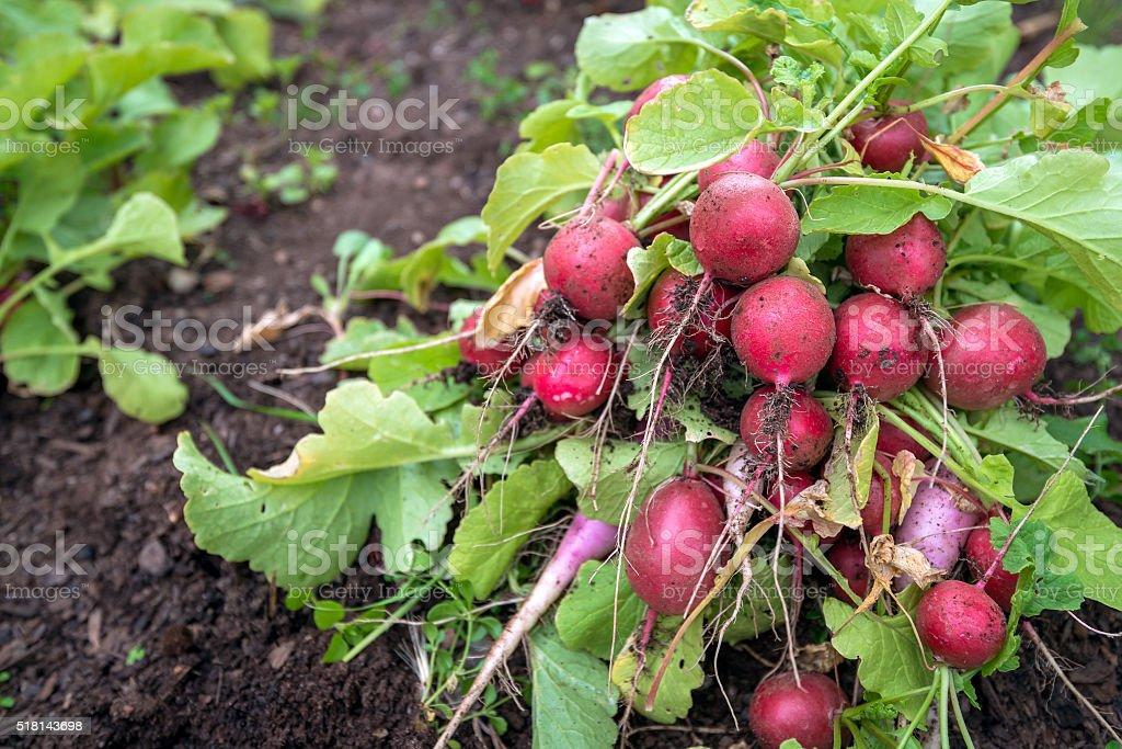 Freshly harvested radish stock photo