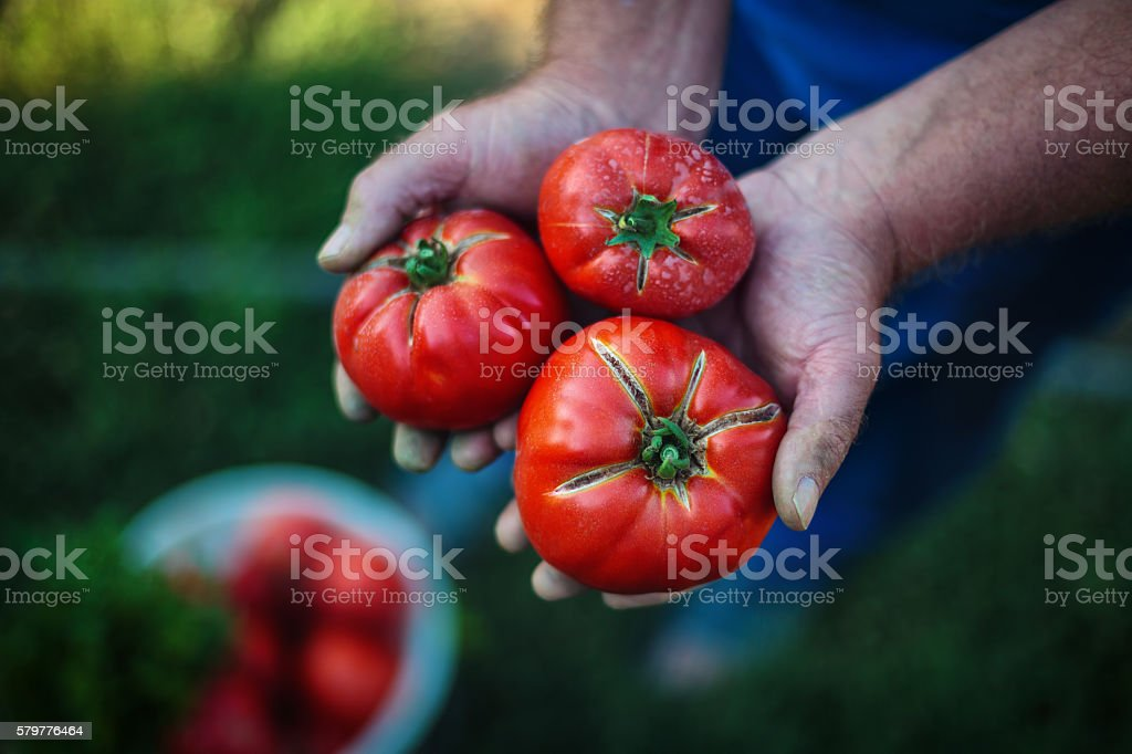 Freshly harvested tomatoes in farmers hands stock photo