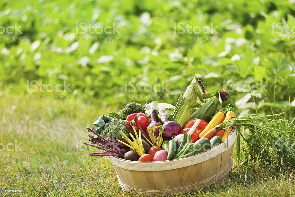 Freshly Harvested Variety of produce and Vegetables in Basket Hz royalty-free stock photo