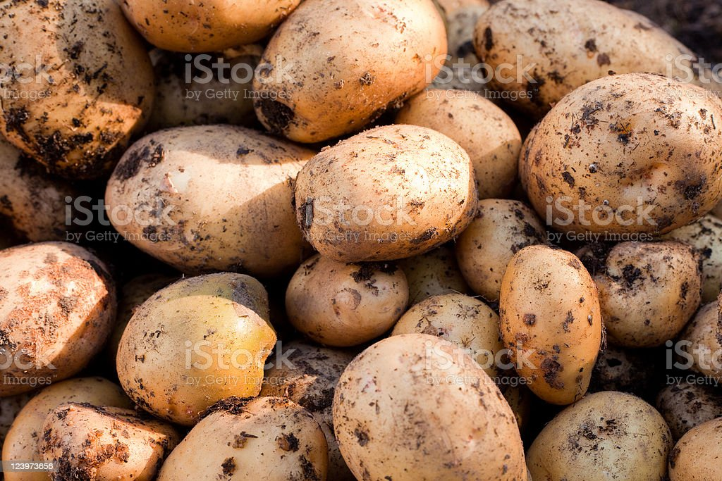 Freshly harvested Yukon Gold potatoes are ready to wash stock photo