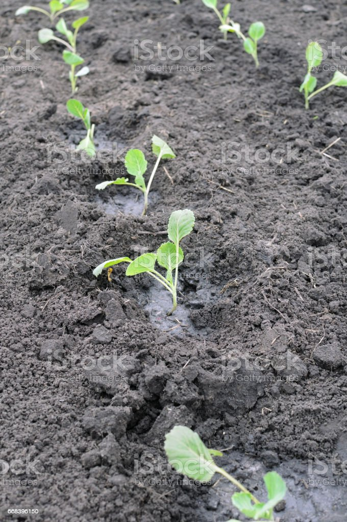 freshly organically planted cabbage seedlings stock photo