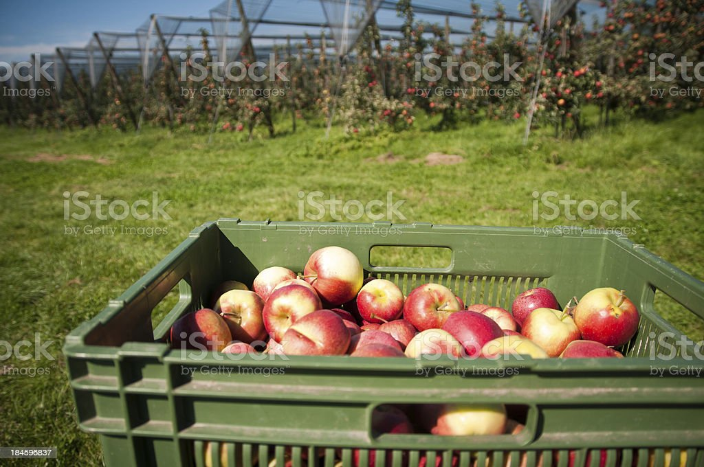 freshly picked apples in container stock photo